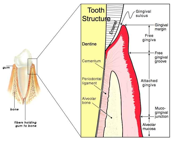 Gum-anatomy